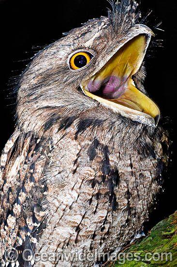 Tawny frogmouth podargus stigoides strange nocturnal - Scary yellow eyes ...
