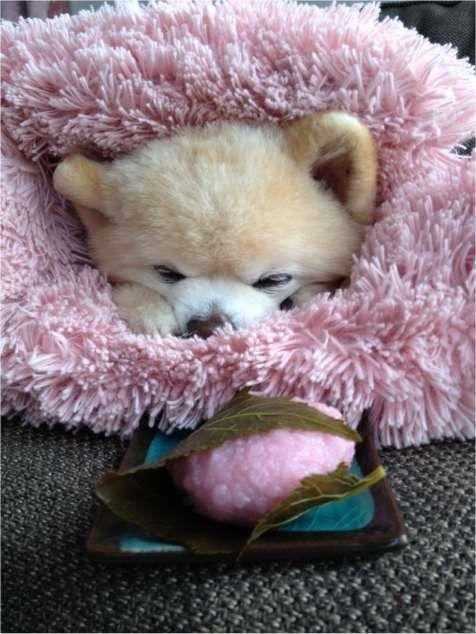 Shunsuke Cute Pictures And Videos 俊介 ポメラニアン 可愛いワンちゃん 動物 ペット