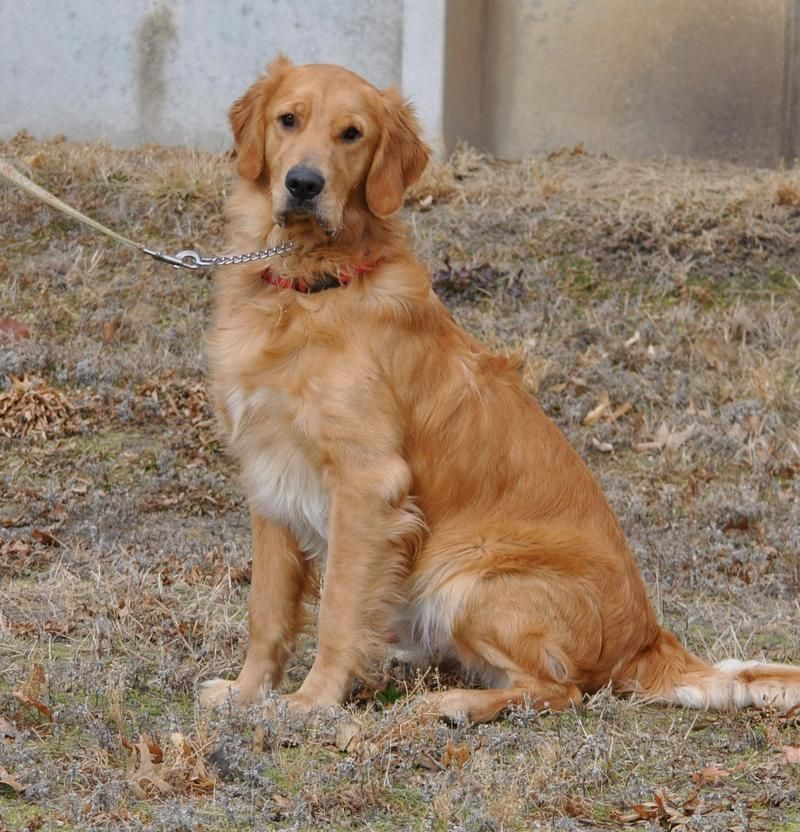 Adopt Brady On Animal Rescue Dogs Golden Retriever Animal Snacks