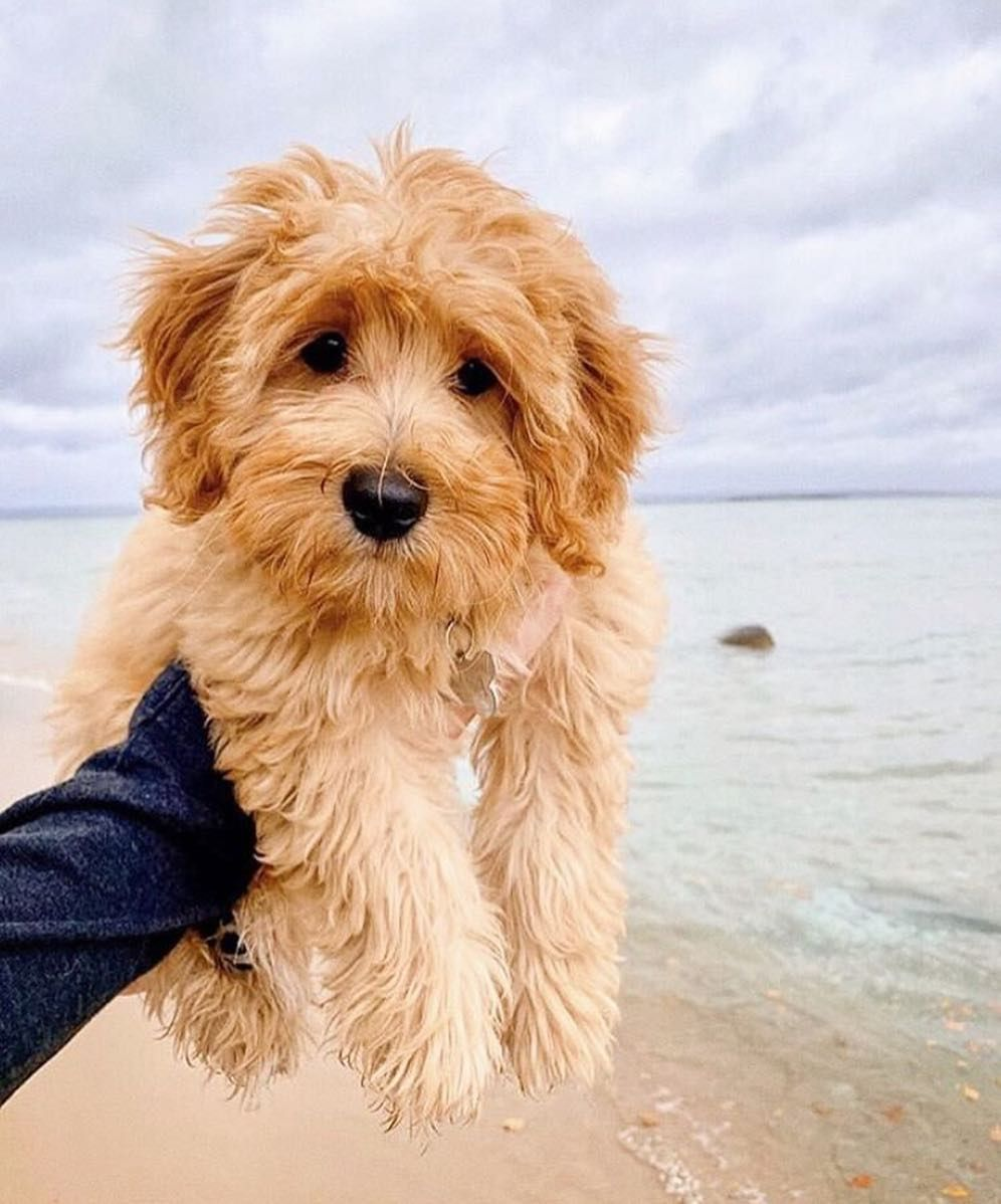Photo of 8 Things to Know About the Miniature Goldendoodle #miniaturegoldendoodle #cutepuppies #goldendoodle – DOGBEAST