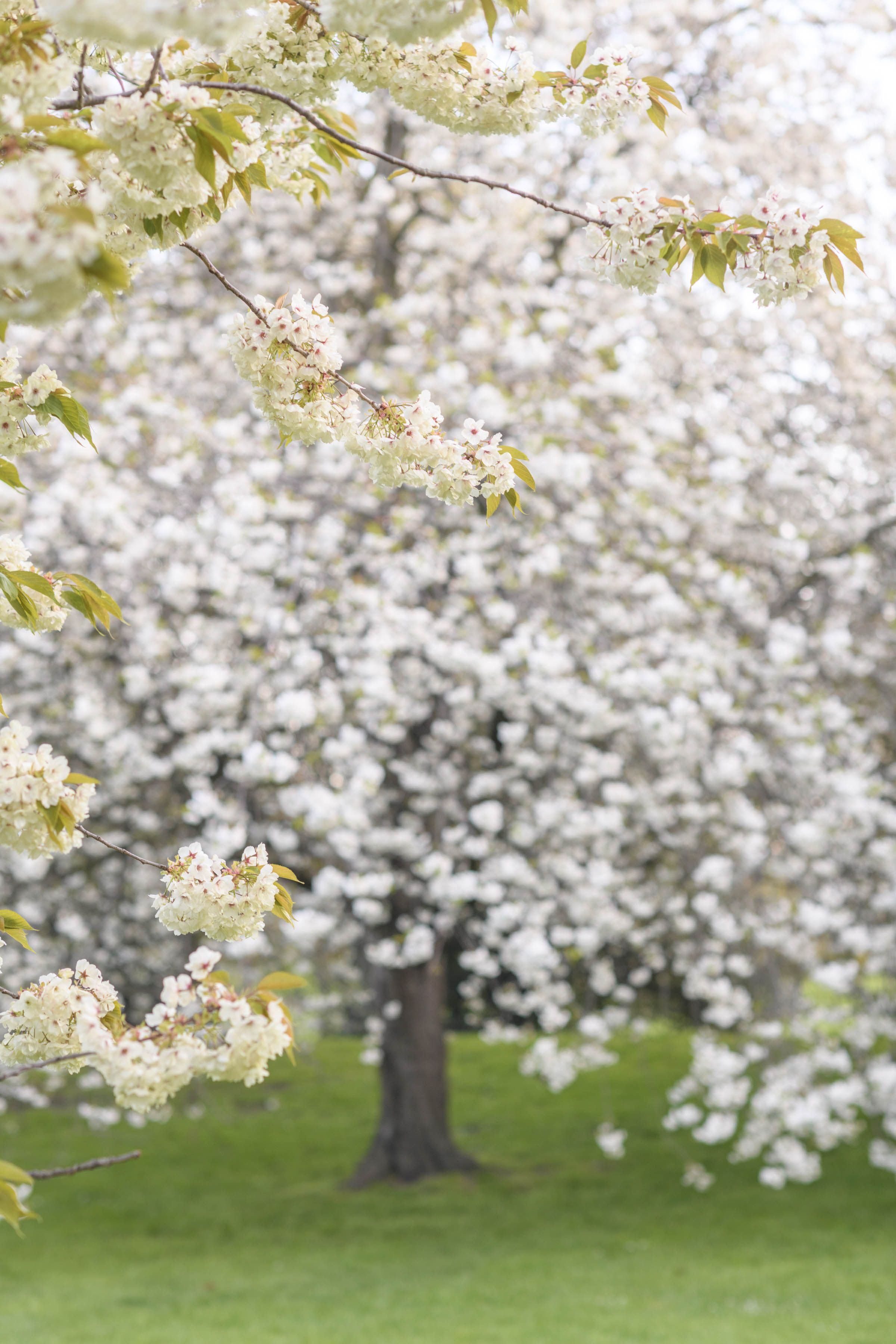 Spring In London White Cherry Blossom Bloom Bloom Book