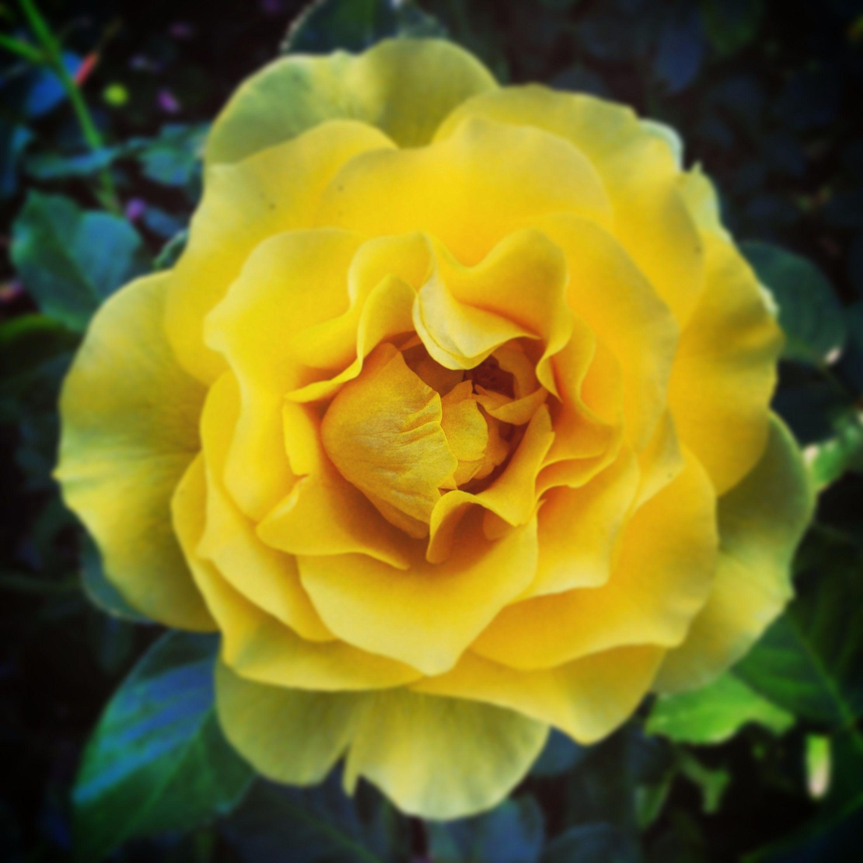 Rose garden at Balboa Park in San Diego