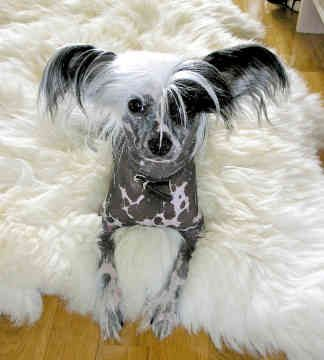 Chinese crested puppy....loving the mohawk!! | Animals | Pinterest ...