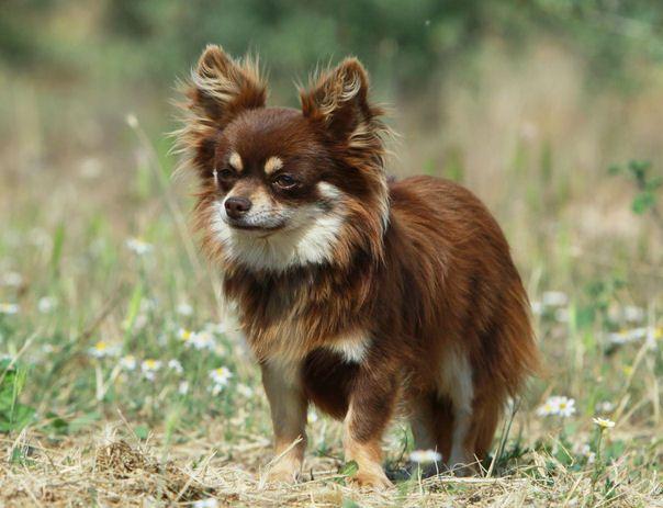 Chihuahua Hunderasse C Hunde Rassen Chihuahua Hunderassen