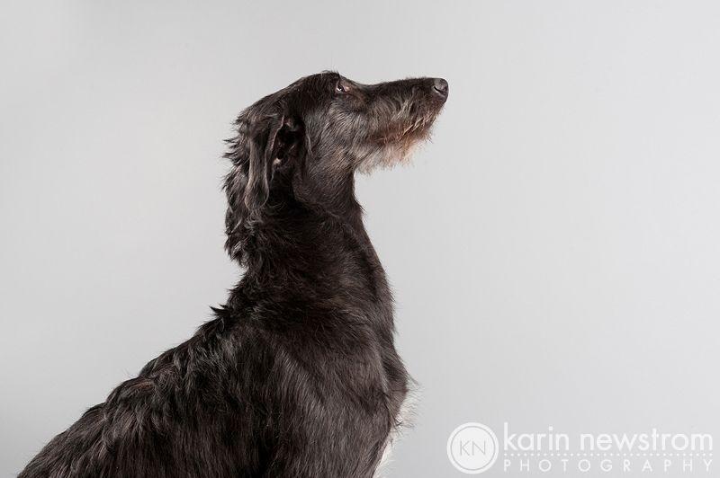 sottish deerhound phot | scottish deerhound photo