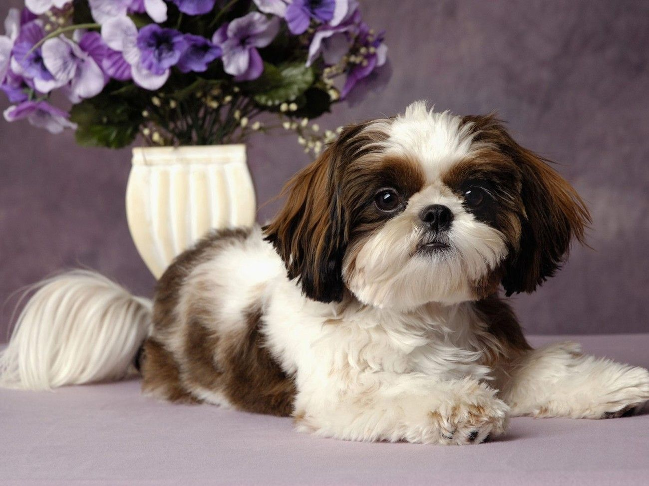 shih tzu wallpaper  Free Shih Tzu Desktop Wallpaper | Shih Tzu Puppies Wallpaper For ...