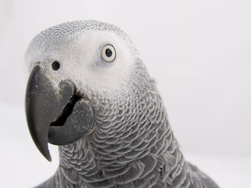 African Grey. Beautiful & highly intelligent. With a high price tag on it, too.