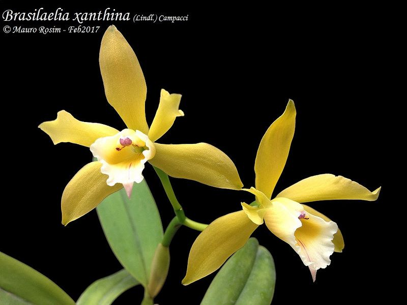 Brasilaelia Xanthina Orchid Images Orchid Flower All Plants