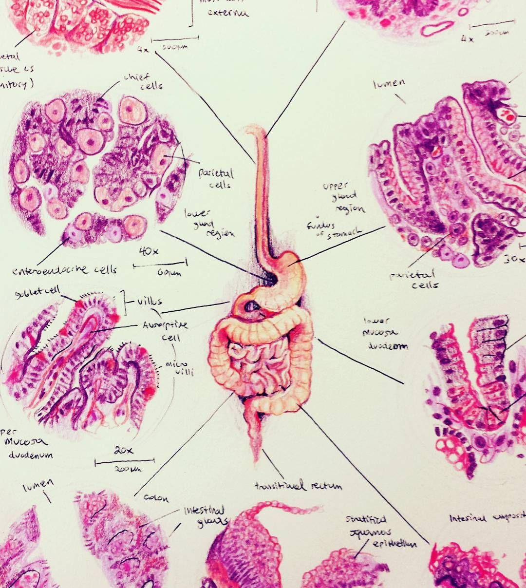 """Histology Of The Digestive System"" (With Images)"