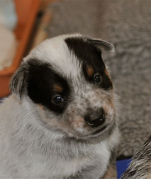 Ban Free To Good Home Ads On Craigslist Heeler Puppies Animals Blue Heeler Puppies