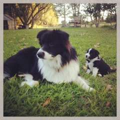 Border Collie Puppies Puppies For Sale Murwillumbah New South Wales Border Collie Dogs For Sale In Australia Puppies Border Collie Puppies Puppies For Sale