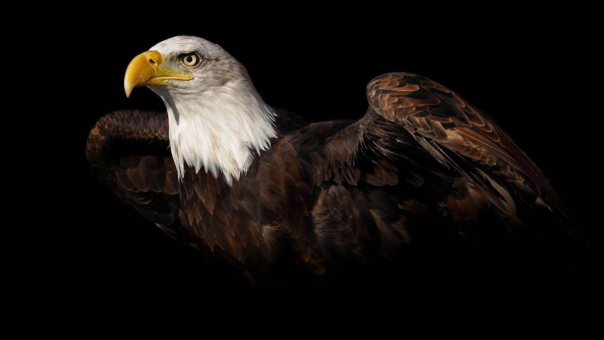 Bald Eagle Flying Over Mountains HD desktop wallpaper