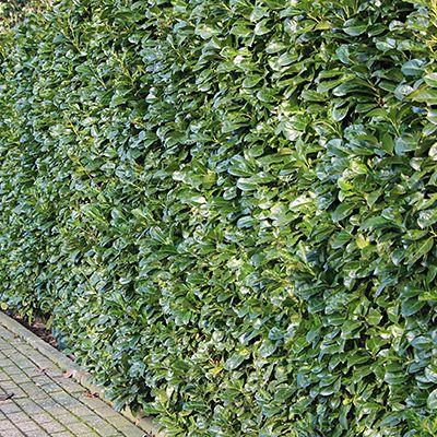 Friesenwall Bepflanzen kirschlorbeer etna pflanzen janssen gmbh pool sichtschutz