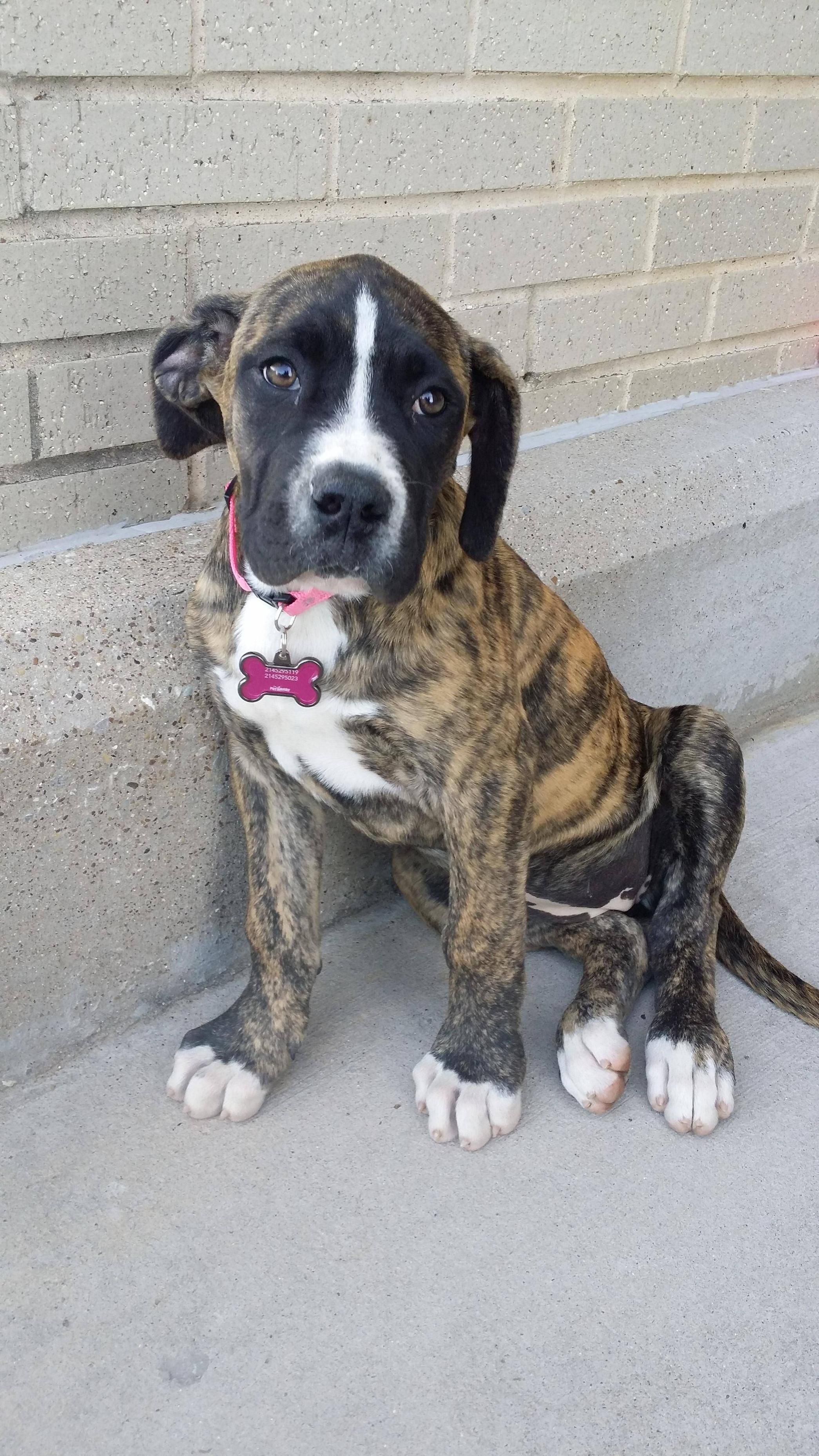 Reddit This Is Lola 9 Weeks 30 Pounds American Bulldog