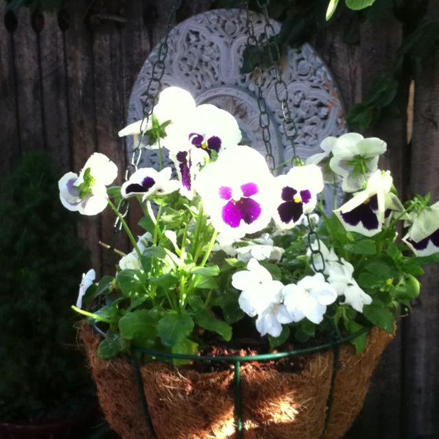 Pansy baskets bloom for months in my secret garden.