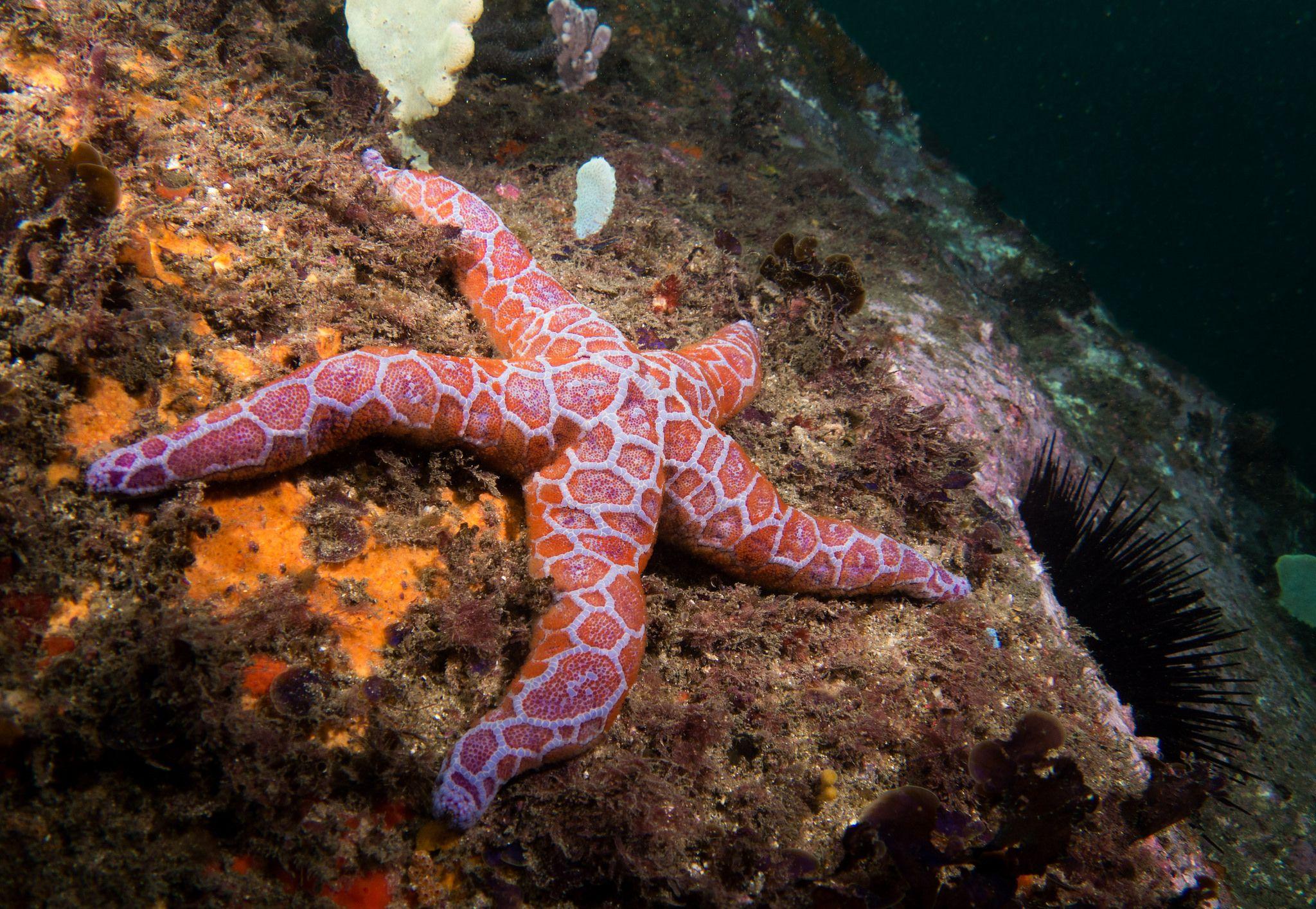 https://flic.kr/p/TK8PrC   Laid back - Mosaic seastar - Plectaster decanus #marineexplorer   Henry Head