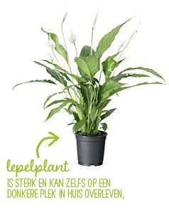 Grote kamerplanten top 10 - Intratuin