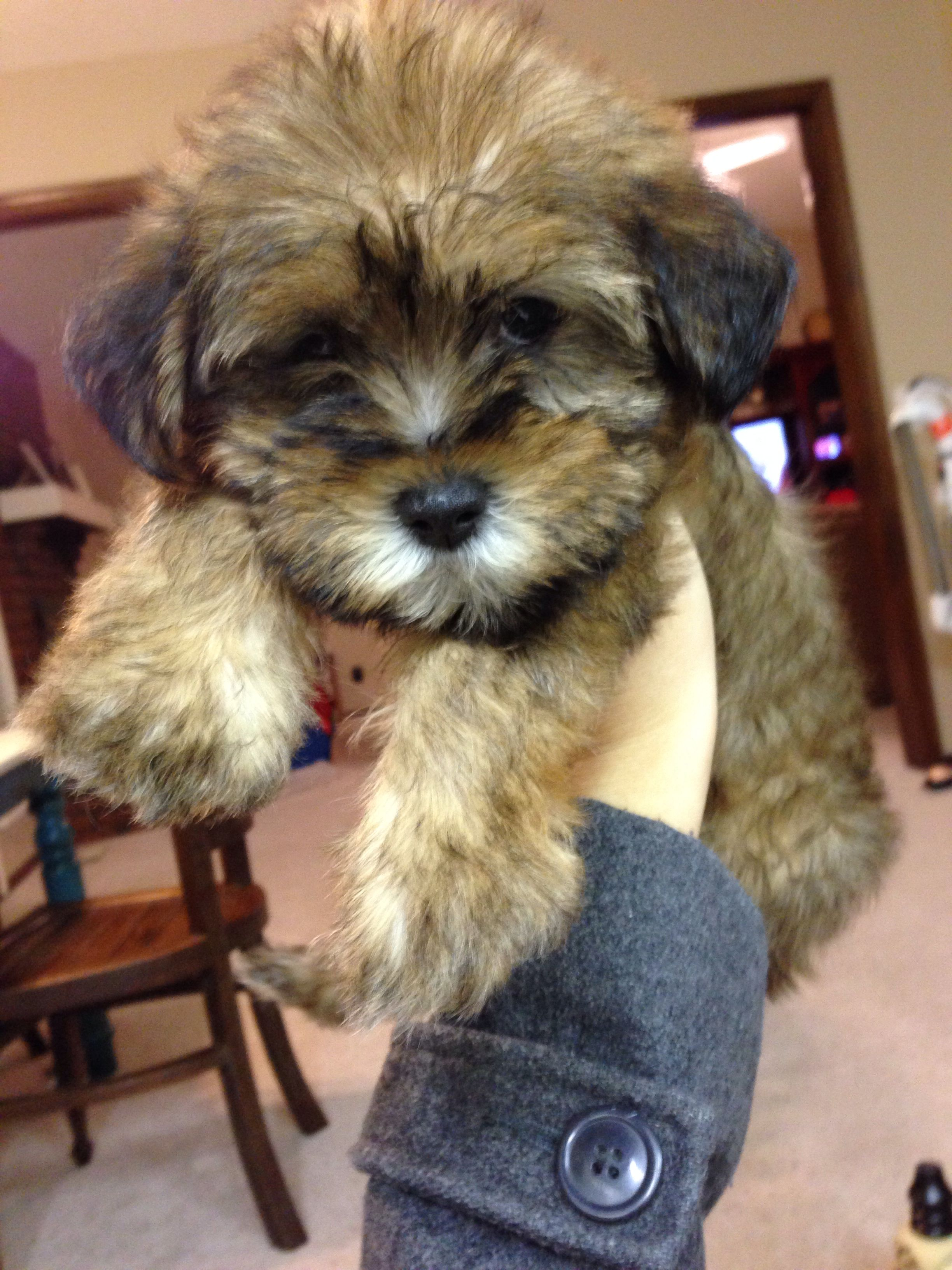 Shih Tzu Schnauzer Mix Teddy Bear Puppy Shih Tzu Teddy Bear