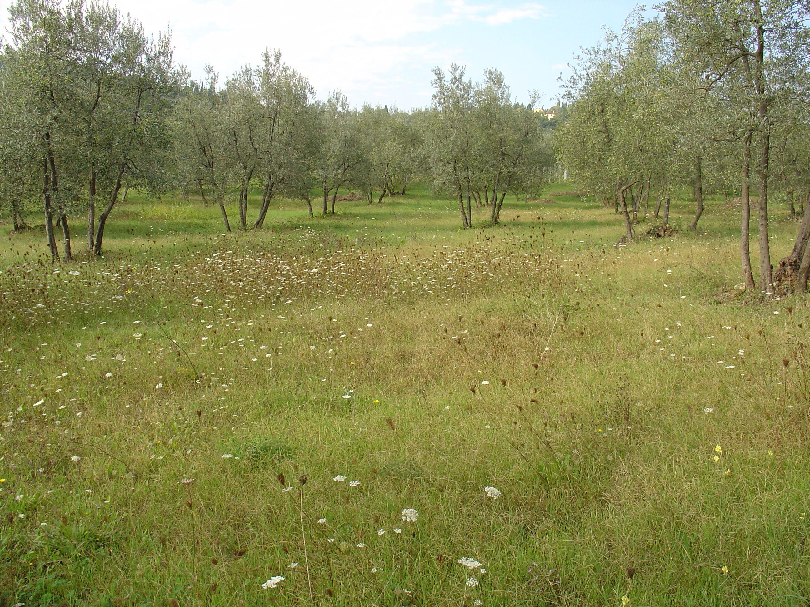oliveyard