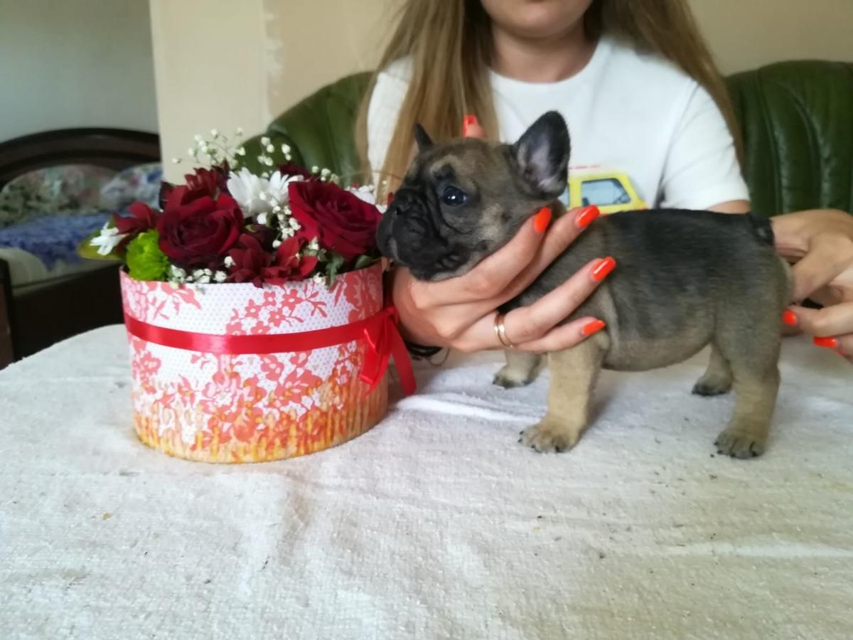 New Elite French Bulldog Puppy From Europe With Excellent