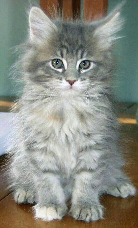 Pin Su Cats Kittens