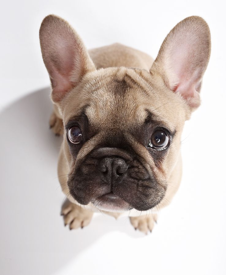 Pin Auf French Bulldogs Are Amazing