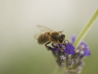 Russian Bees Coming to Rescue US Hives
