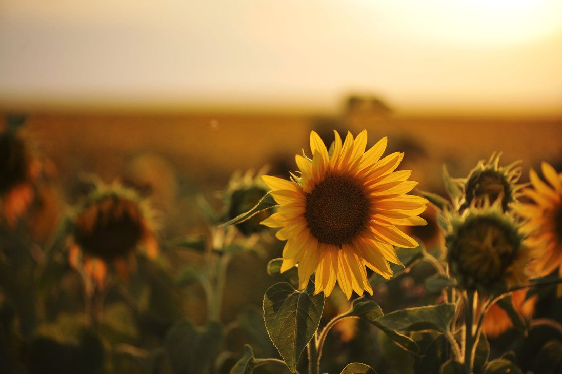 sunflowers photography sunflower photography tumblr