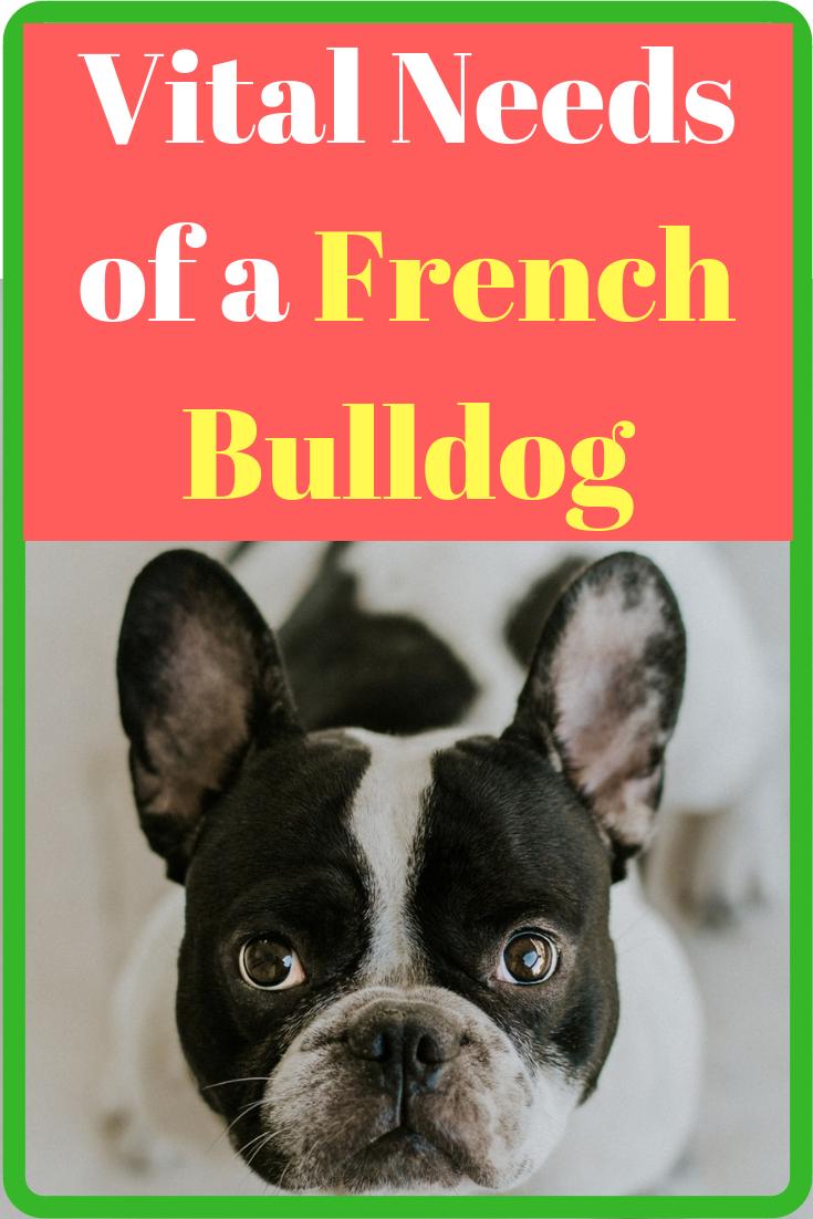 Vital Needs of a French Bulldog