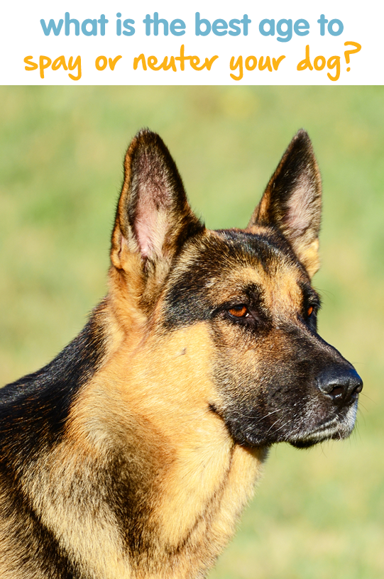 What Is The Best Age To Spay Or Neuter Your Dog Hear What Our Vet Experts Have To Say Dog Spay Dogs Dog Care 101