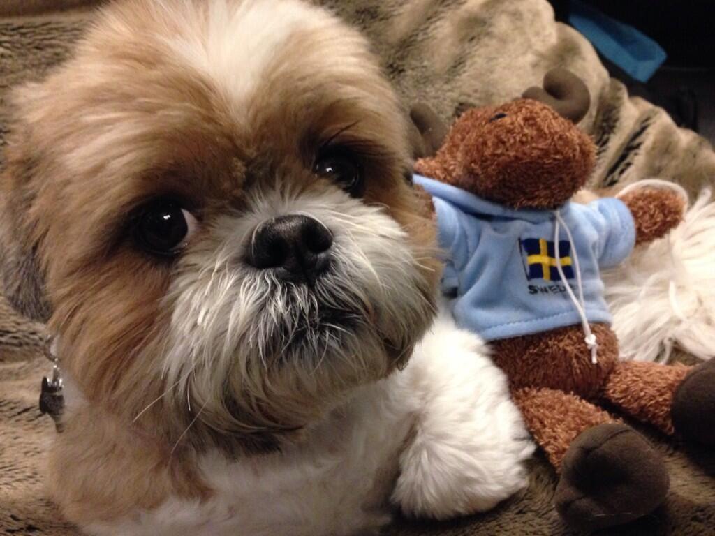 Shih Tzu Shih Tzu Puppy Shih Tzu Cutest Small Dog Breeds