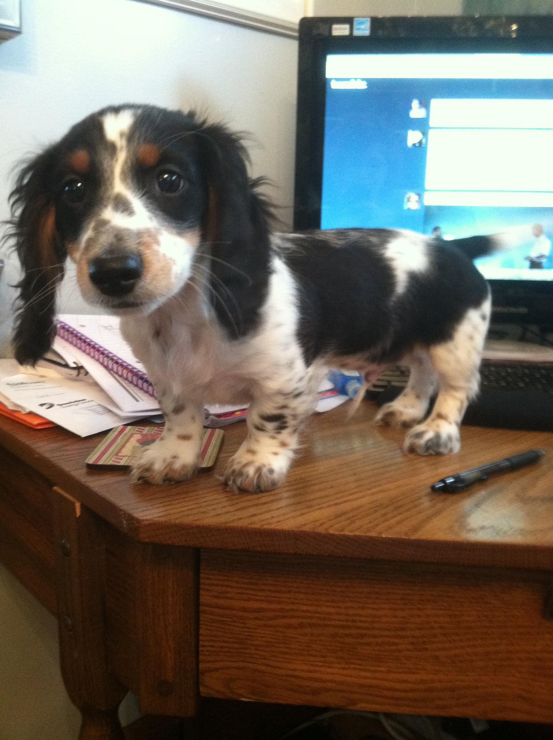 Piebald Dachshund Puppies For Sale Near Me Ideas