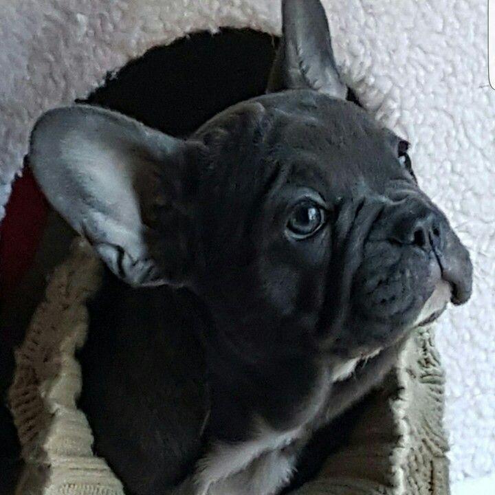 Brilliantly Blue Brindle Female Born 11 27 15 Bulldog Puppies