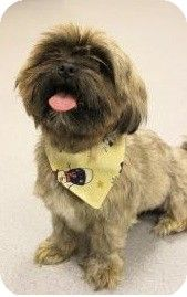 Chicago Il Shih Tzuyorkie Yorkshire Terrier Mix Meet Cocoa A