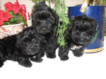 Havanese Hacienda Havanese Puppies Pup
