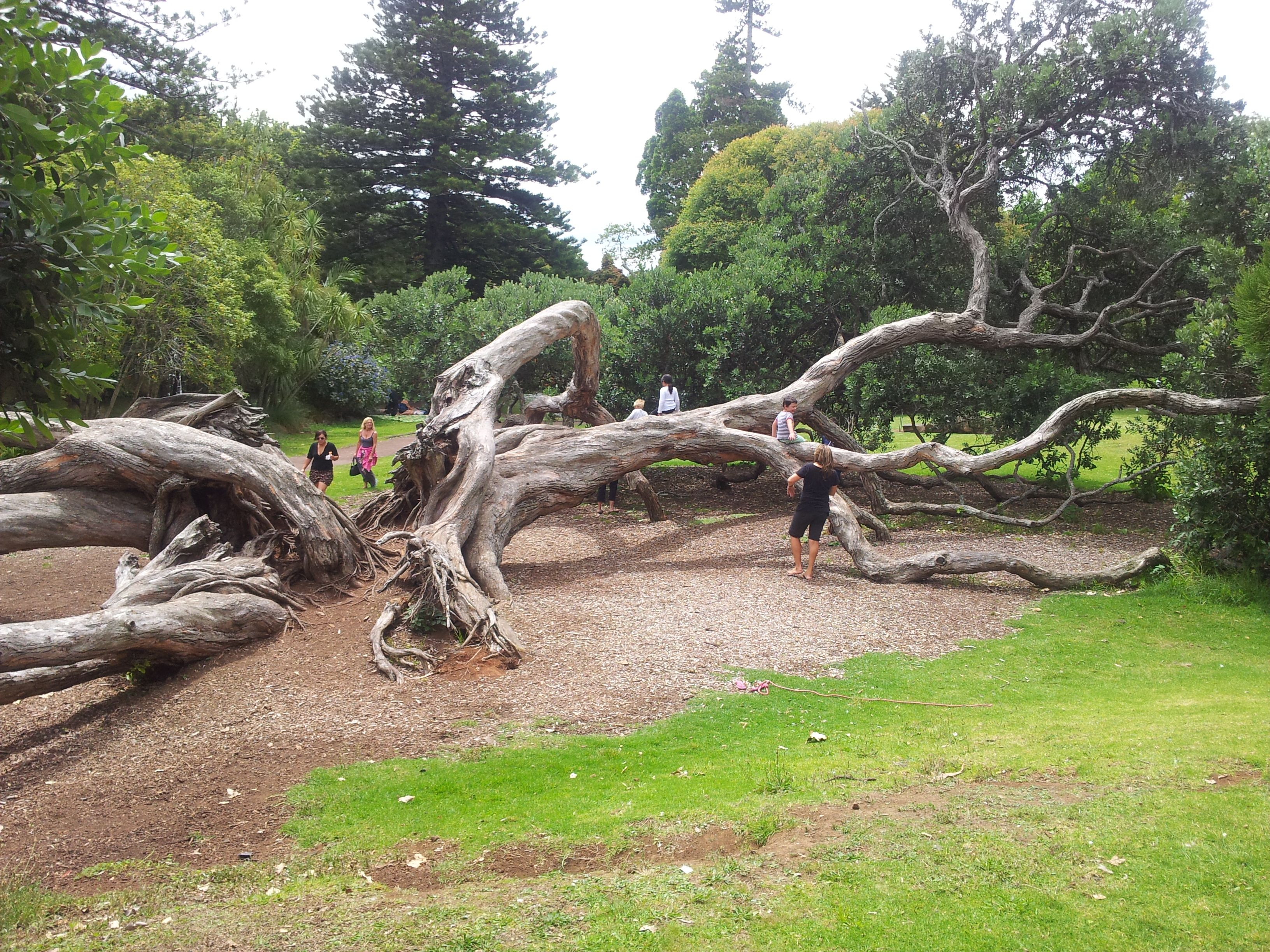 Old Tree In Auckland Domain Trees To Plant Auckland Spooky Trees