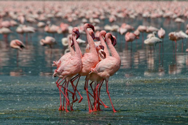 All flamingo species have evolved to live in some of the planet's most extreme wetlands, like caustic 'soda lakes', hypersaline lagoons or high-altitude salt flats. | Cosmos