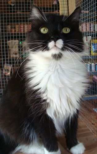 Frittata Tuxedo Domestic Long Hair Black And White Cat Stone Mountain Ga Pretty Cats White Cats Cats And Kittens