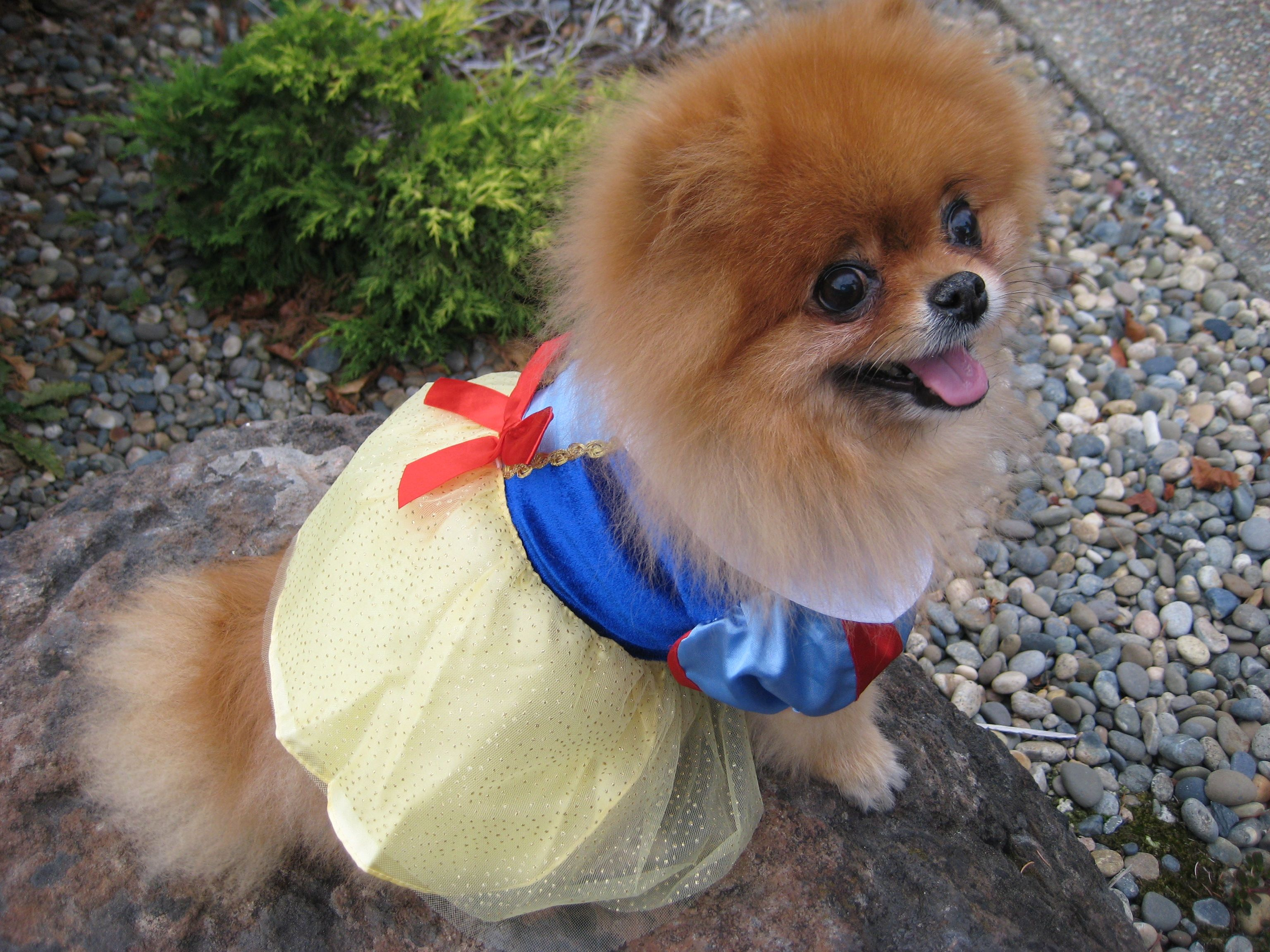 Pomeranian Dressed Up In Snow White Costume With Images Pugs