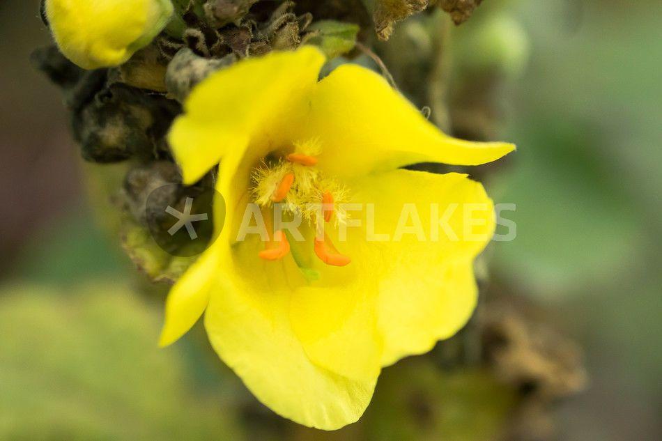 """""""Kleine gelbe Wiesenblüte"""" Fotografie als Poster und Kunstdruck von toeffelshop bestellen. - ARTFLAKES.COM"""