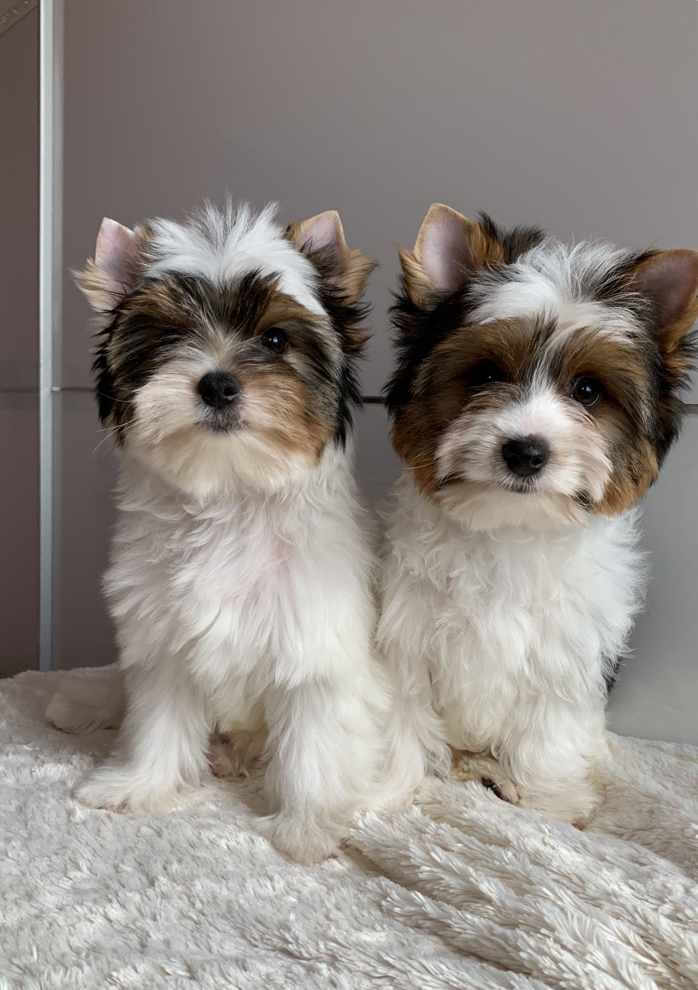 Professional Dog Grooming Supplies Edmonton Biewer Yorkie