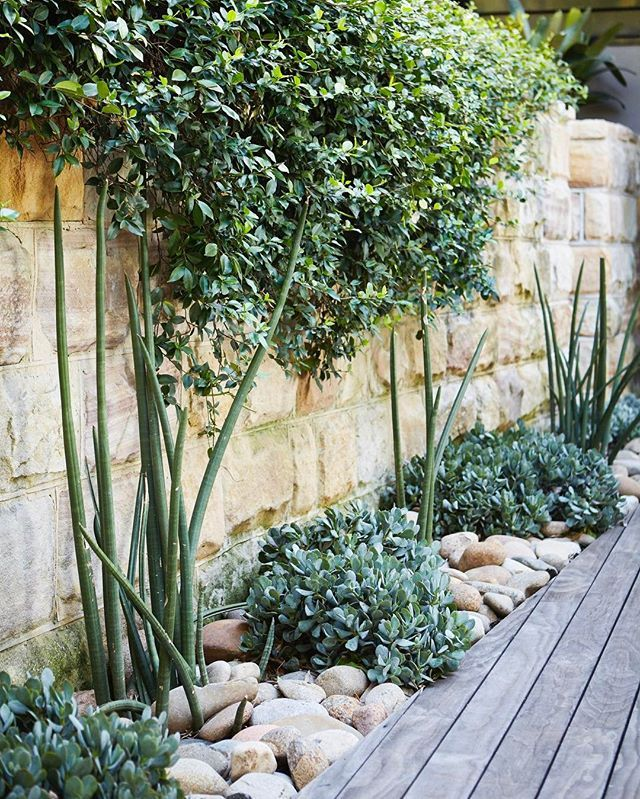 Crassula And Sansevieria Fight For Space Amongst The River Pebbles At Palm  Beach. While Jasmine Spills Down The Stone Wall Behind.