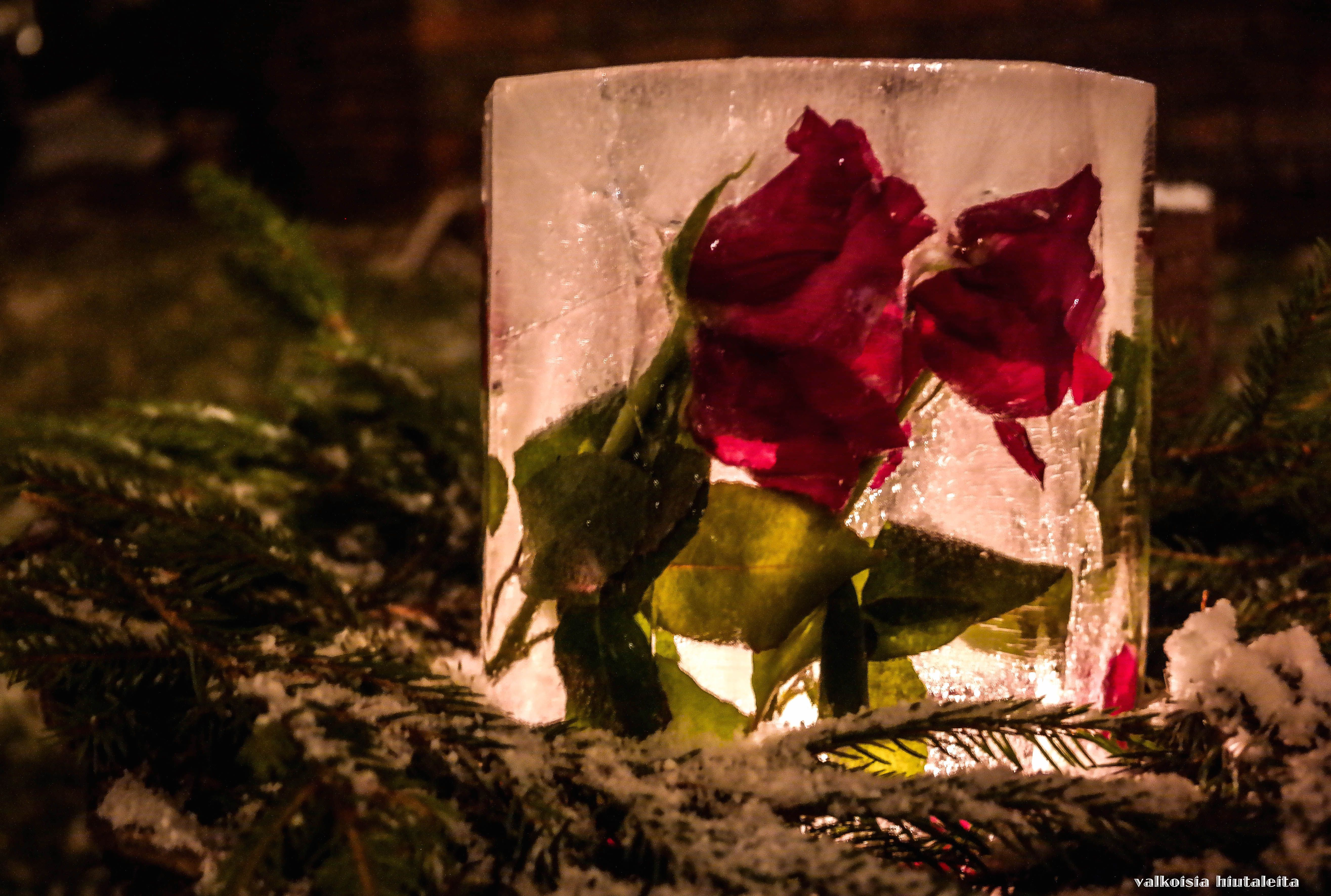 Red roses ice lantern for the ones I love <3