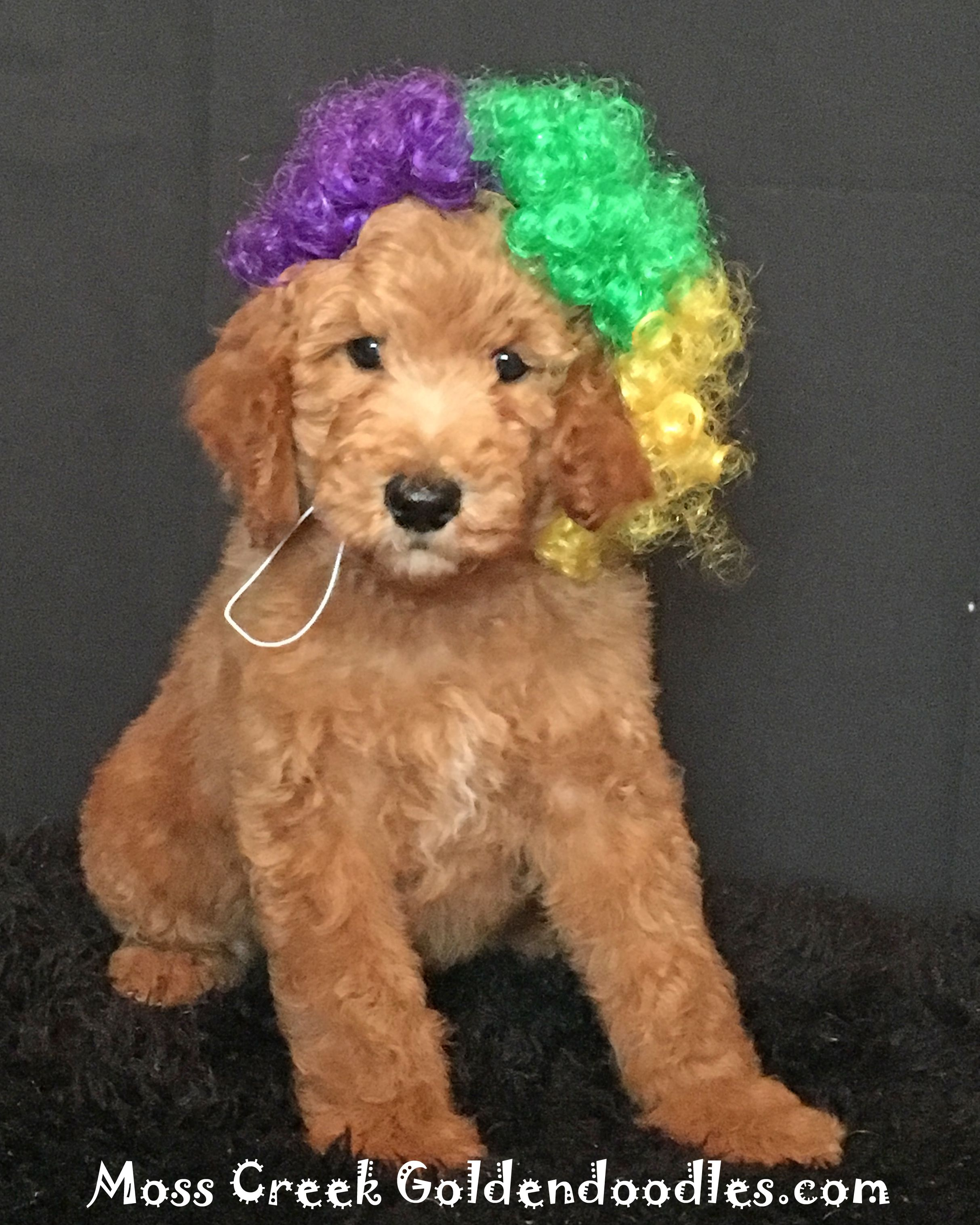 Moss Creek Goldendoodles Goldendoodle Puppy English