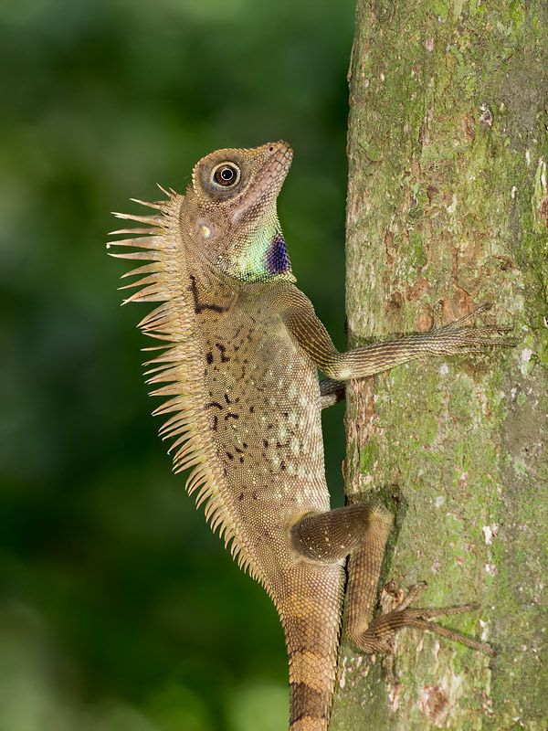 Bell S Anglehead Lizard トカゲ 両生類 爬虫類