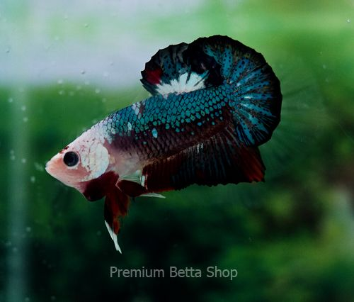 AquaBid.com - Item # fwbettashmp1416767981 - AAA Fancy Betta Male HMPK #1016 - Ends: Sun Nov 23 2014 - 12:39:41 PM CDT