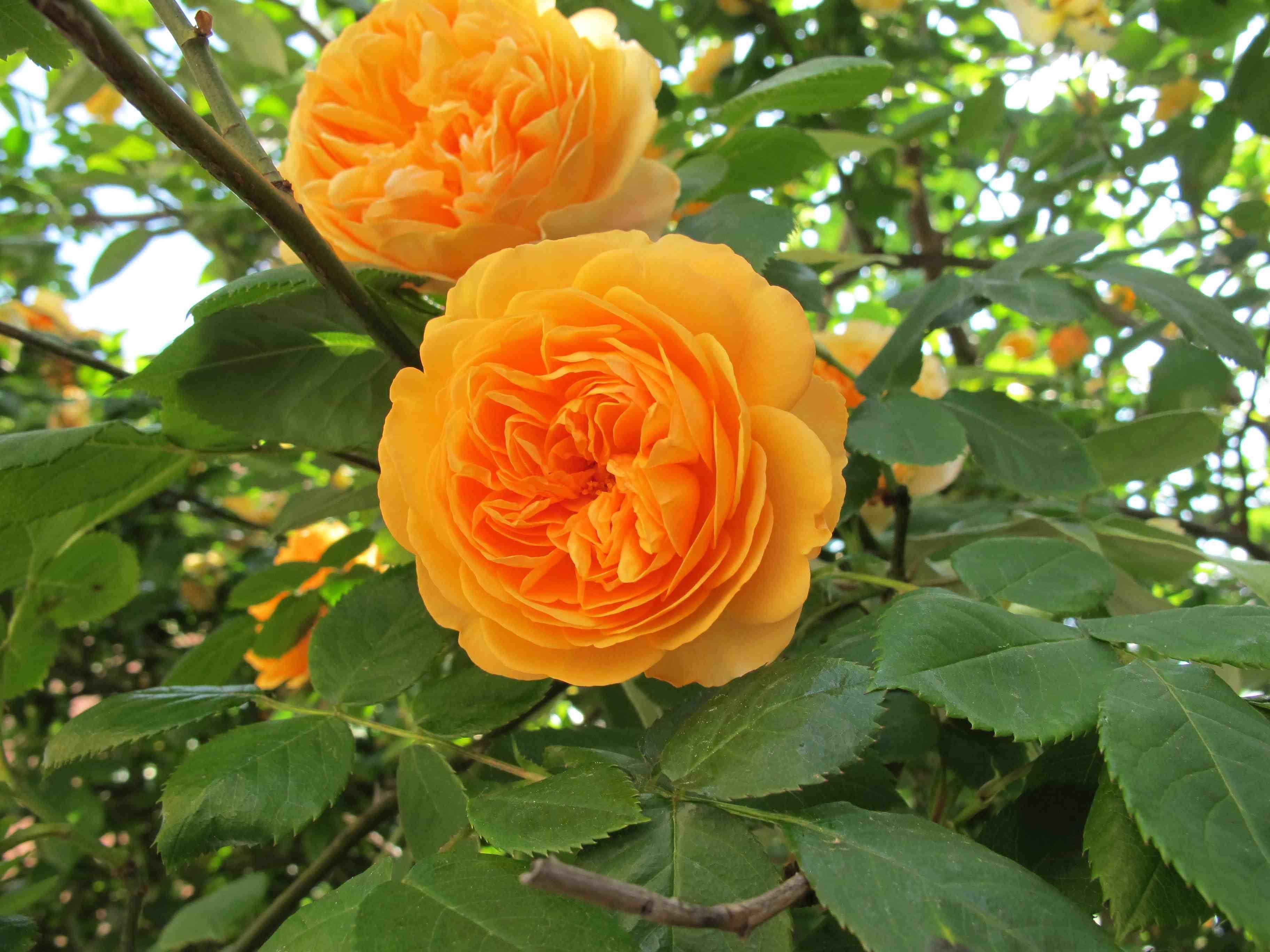 orange climbing roses | Gorgeous orange climbing rose on Murano, maybe 'Crown Princess ...