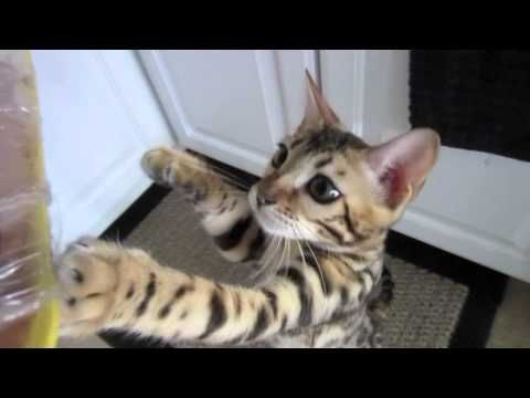 Hungry Bengal Kitten, so cute