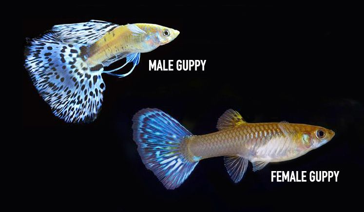 Identifying Between A Male And Female Guppy Fish Guppy Aquarium Guppy Fish Guppy Fish Pet