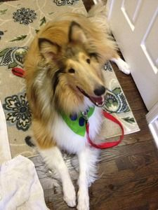 Collie Rescue Of Greater Illinois Ranger Collie Rescue Collie